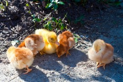 New Rumor: Microsoft Surface Tablet to be Sold For 2 Chickens and a Duck Rumors